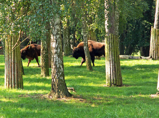 Wisent Reservat Damerow